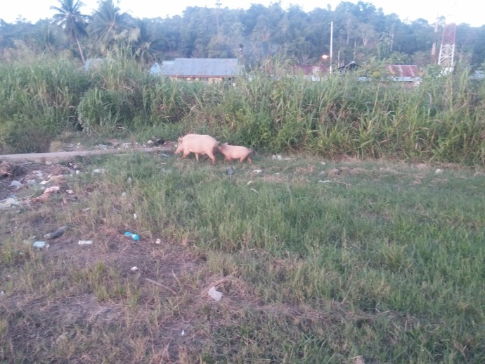 Banyak Babi Berkeliaran